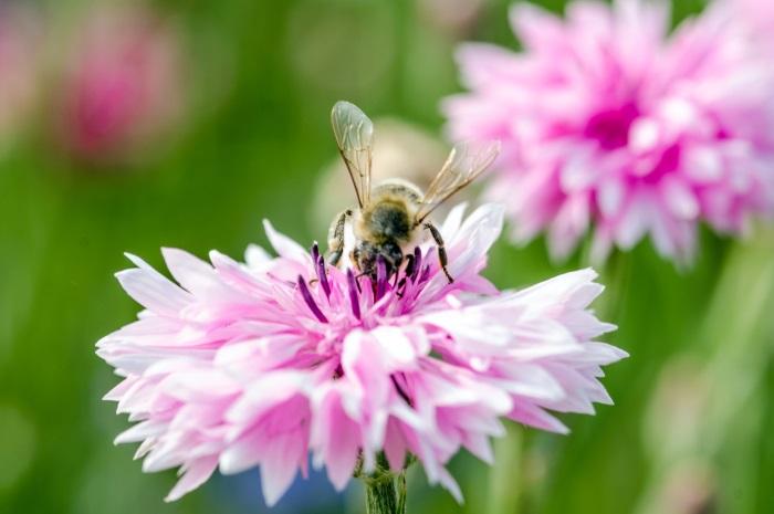 blumenwiese für bienen anlegen